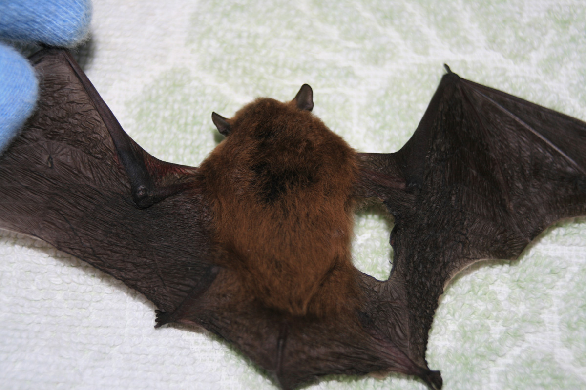 Kent Bat Group Bat Rescue