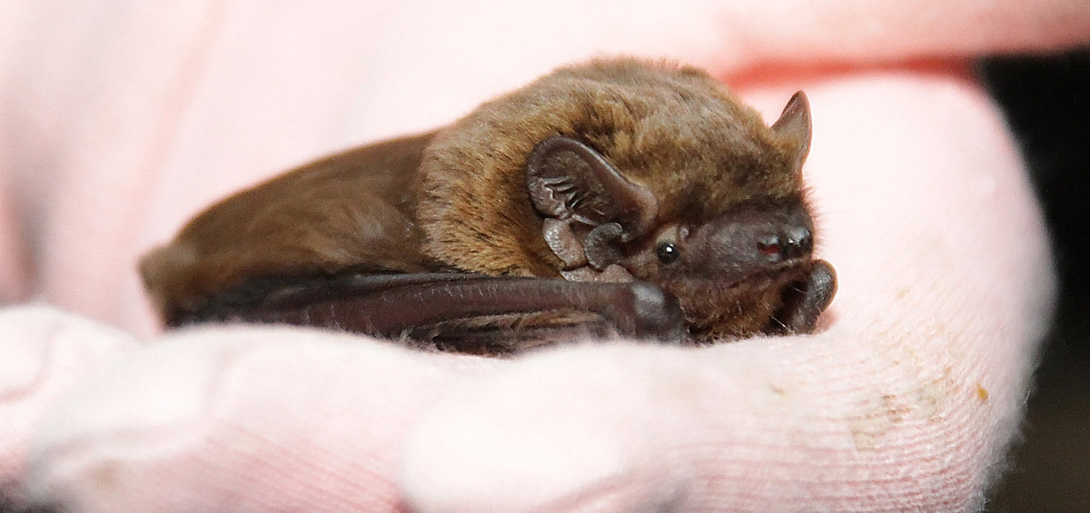 Leisler's Bat © Hazel Ryan